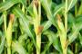 Suzbijanje korova u kukuruzu nakon nicanja