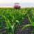 Kukuruz: Ova godina specfična, koristite folijarna gnojiva jer brže oporavljaju usjev