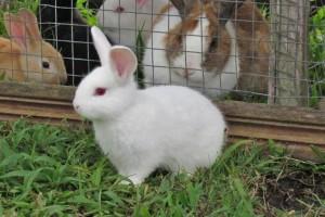 Širi se virus smrtonosan za kuniće i zečeve: Simptomi nekada nisu vidljivi