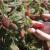 Tayberry: Hibrid između maline i kupine - odličan za hobi voćare
