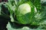 Čepinski kupus – od mita do stvarnosti