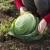 Uzgoj kupusa u plastenicima