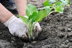 Zaštita ranih kupusnjača pre sadnje u aprilu