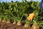 Rekordna godina za KWS sorte šećerne repe