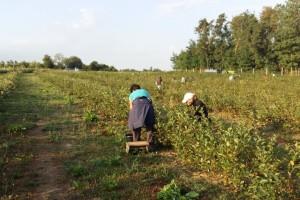 OPG Lagator: Od 3.000 sadnica eko aronije do niza proizvoda za zdravlje ljudi