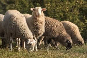 Nikad crnje: Sve manje livanjskih ovčara - tko će proizvoditi livanjski sir?