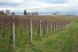 Restrukturiranje i konverzija vinograda - otvoreno javno savjetovanje