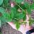 Pojavila se eriofidna grinja lista maline - sada jeidealna prilika za suzbijanje