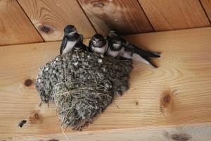 Petkovići imaju više od 80 lastavičjih gnezda