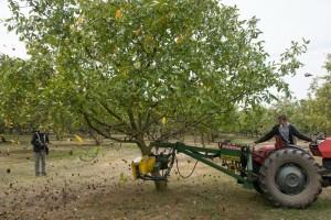 Zašto se domaći proizvođači oraha okreću lateralnim sortama?