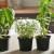 Lekovito bilje uzgajamo i na terasi, a možemo li i da ga izvozimo?