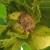 Za suzbijanje braon mramoraste stenice u zasadima leske - piretroidi