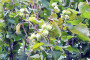 Uzgoj lešnika - dosta posla, ali i zarade