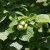Najznačajnije sorte leske poreklom iz Italije