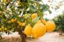 Limun u bescjenje zbog panike na tržištu