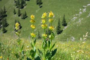 Uzgoj lincure - samo na visinama iznad 1.500 metara