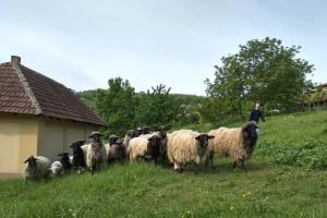 Radovan Anić - jedini uzgajivač lipske ovce u Aranđelovcu