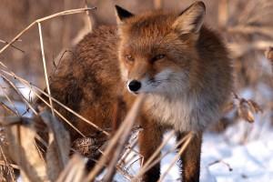Najezda šakala i lisica - tamane plemenitu divljač!