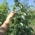 Ljetna rezidba krušaka – osnova za dobar urod u narednoj godini