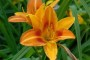 Dnevni ljiljan ukras vrta