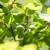 Kako spriječiti šupljikavost lista šljive?