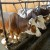 Stočarima dogodine posebni podsticaji za tovno govedarstvo