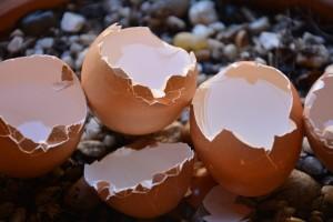 Kako koristiti ljuske jaja u poljoprivredi?