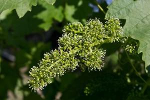 Cvetanje vinove loze - važne napomene u tehnologiji