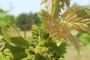 Eska izaziva sušenje vinove loze