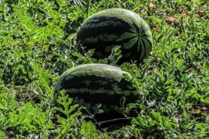 Veletrgovcima prodaju lubenice po cijeni višoj od marke