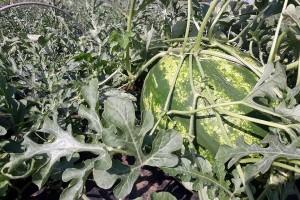 Šašinci: Stigle sremačke lubenice