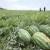 Lubenica: Omiljeno ljetno povrće kojem visoke temperature ne smetaju