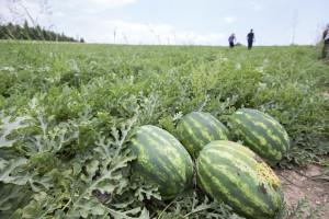 Smrt od toplotnog udara: radnika s plantaže lubenica ostavili pred vratima ambulante