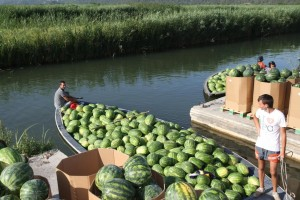 Propadaju lubenice na neretvanskim poljima, niti jedan proizvod ne mogu prodati!