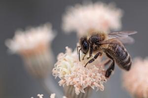 Zakon o uzgoju domaćih životinja: pravna osnova za uzgoj sive pčele