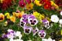 Kako uspešno gajiti Dan i noć - mali ukras vrta?
