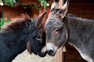 Oženili su magarce Lovru i Princezu - imali su čak i lažnu mladu