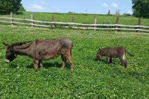 Trebali mlijeko za bolesnog sinčića, nabavili magarce i razvili uspješan posao