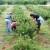 U Majčinom Selu uzgajaju aroniju, šipak i proizvode organsku hranu