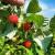 Zaštita organske maline uz pomoć ljuski od jaja, algi i kišnice
