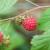 Bolji prinos organske maline uz odgovarajuću agrotehniku