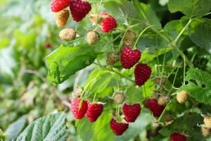 Kako spriječiti sušenje korijena maline?