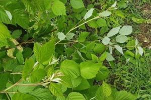 Kišovito proleće pogoduje bolestima kupine i maline - zaštitite voće