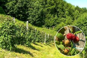 Kako produžiti zrenje plodova maline do zime