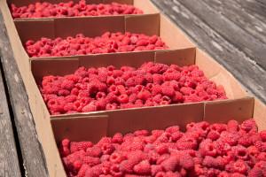 Obuka za proizvođače malina i drugog jagodastog voća
