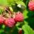 Koliko je u postojećim uslovima isplativ uzgoj maline?