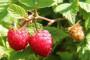 Malinina buba - kako zaštititi voće od insekta?