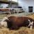 Stočari: Niska otkupna cena bikova, zarada tek od 2,20 evra po kilogramu