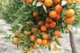 Neretvanske mandarine dobile oznaku izvornosti