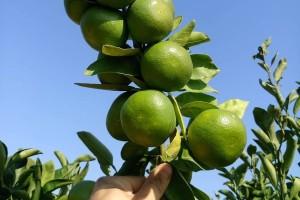 Hoće li Neretvani sa zelenom mandarinom uništiti sami sebe?